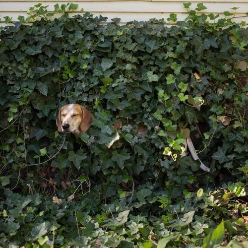 Maddie the Coonhound 4