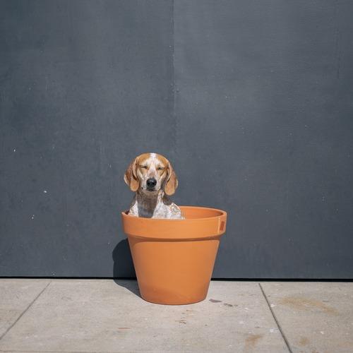 Maddie the Coonhound 6